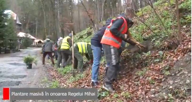 Reportaj: plantare de brazi pe Domeniul Regal Peleș